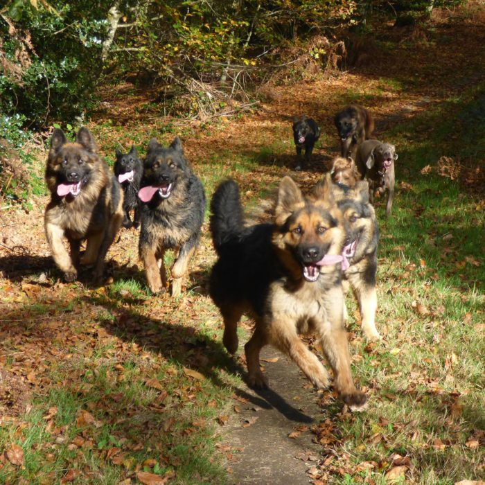 Promenade éducative canine, promenade collective