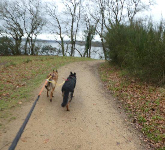Canicourse -Canicross -Canimarche à Quimper,avec un chien abandonne