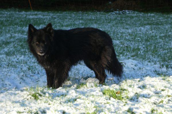 Educateur canin 29 Berger allemand noir 1