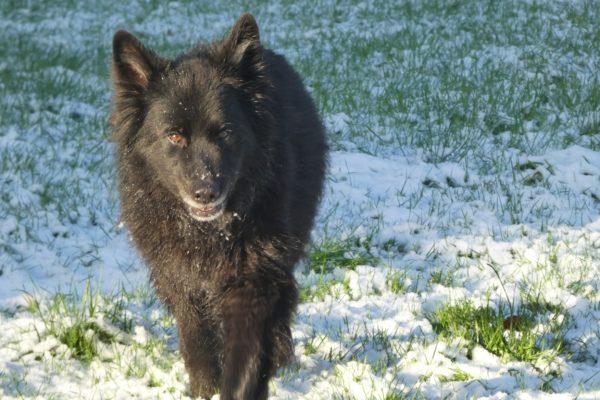 Educateur canin 29 Berger allemand noir