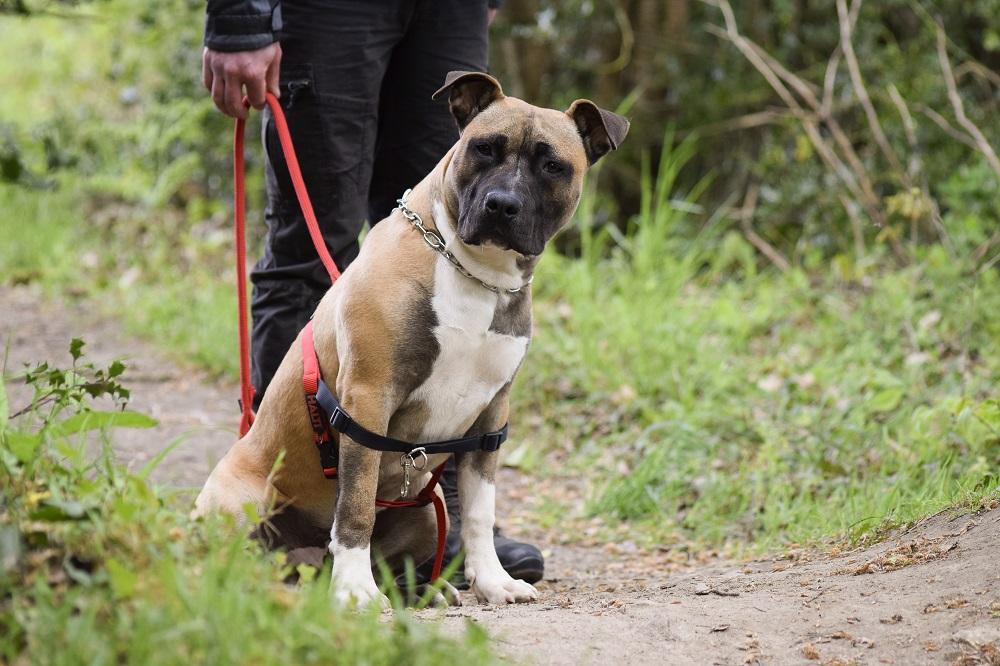 Attestation d'aptitude pour chiens de 1ère et 2ème catégorie – FormationAttestation d'aptitude pour chiens de 1ère et 2ème catégorie – Formation