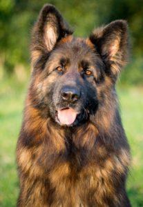 Educateur-canin-29-Berger-allemand-poils-longs-Mac-3.jpg-470x680