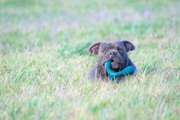 Bully Chien a l'adoption Blue